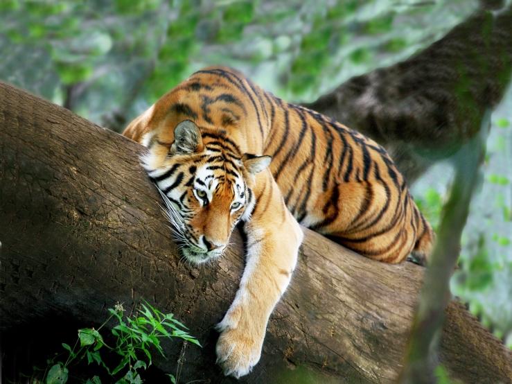 brooklyn new york taichi qigong healing tiger
