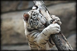 white tiger brooklyn new york qigong taichi taiji