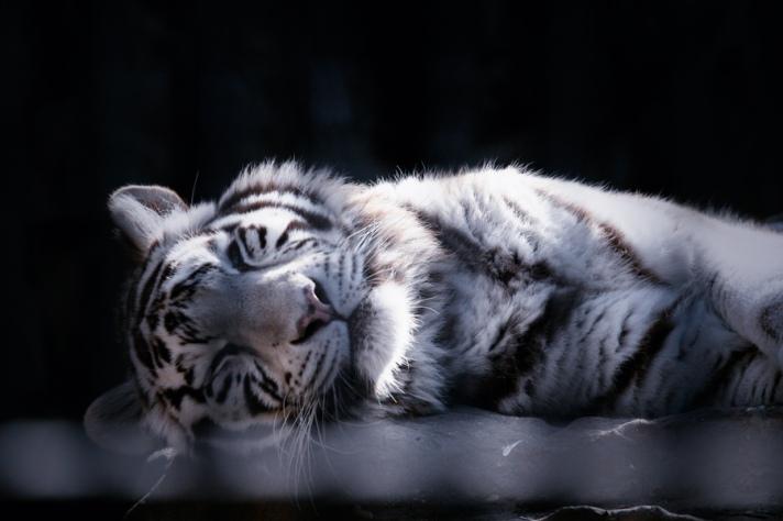 white tiger brooklyn new york qigong taiji